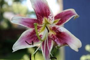 Stargazer oriental lily--summer bloomer