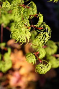 Go get a Japanese maple right now