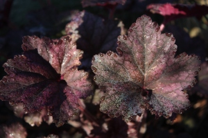 Coral bells with morning dew