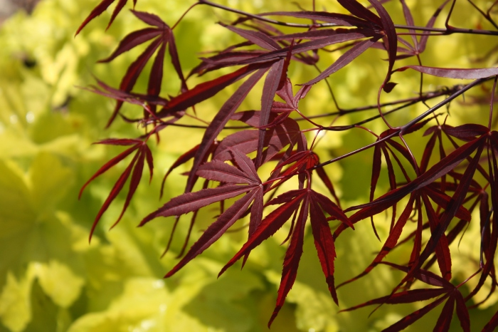 Red Japanese maple and chartreuse heuchera