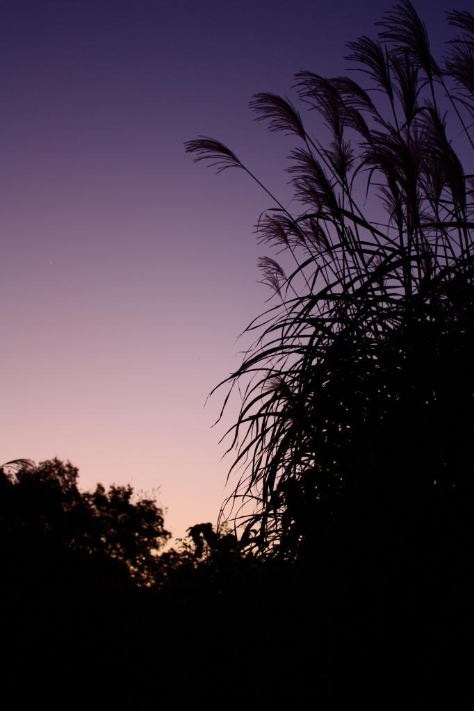 Grasses at dawn
