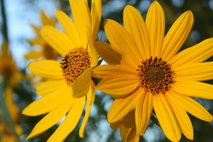 Narrow-leaved sunflowers at sunrise