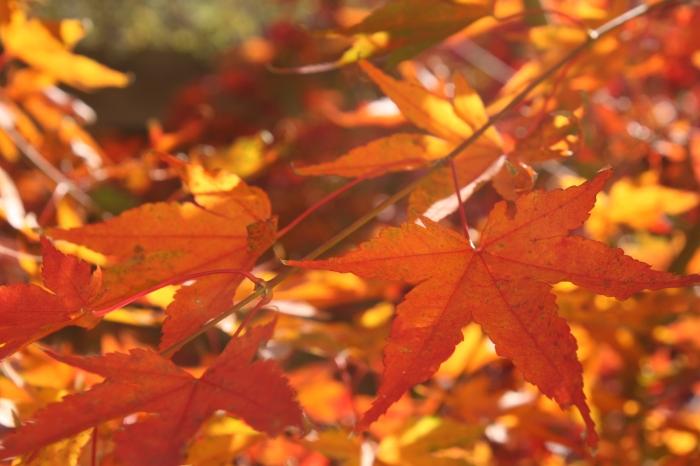 Acer japonica