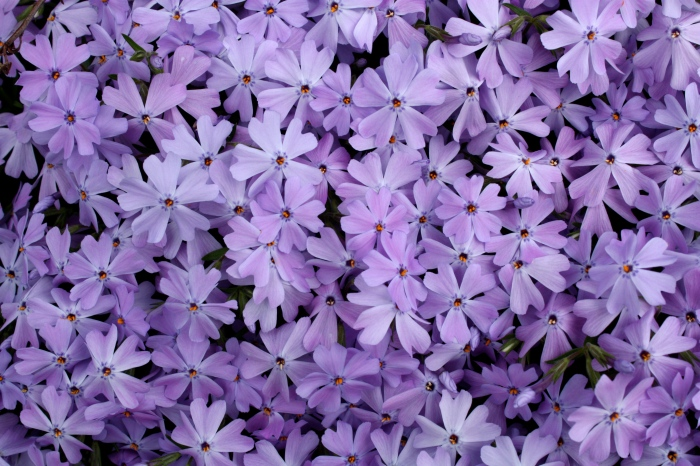 creeping phlox on Ashwood