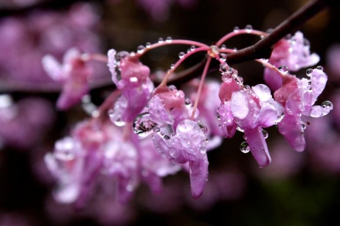 Redbud raindrops