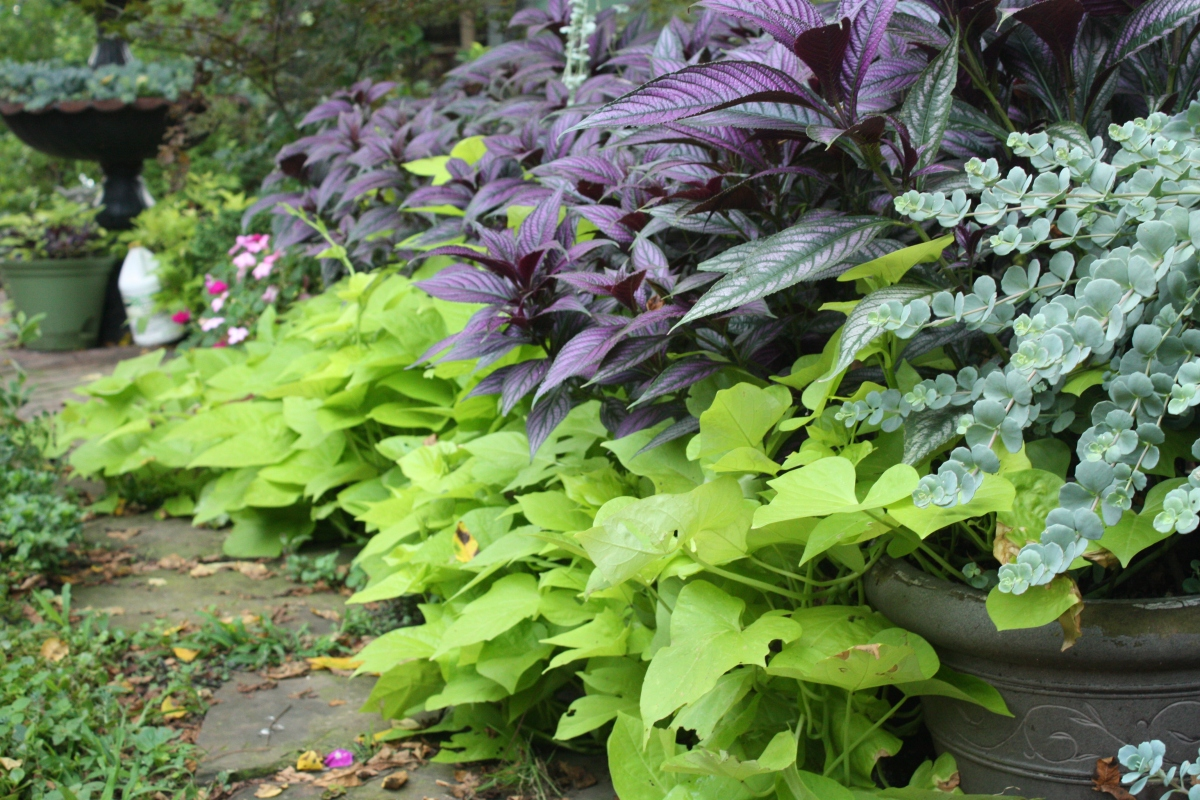 Persian shield, sweet potato vine, and sedum (right)