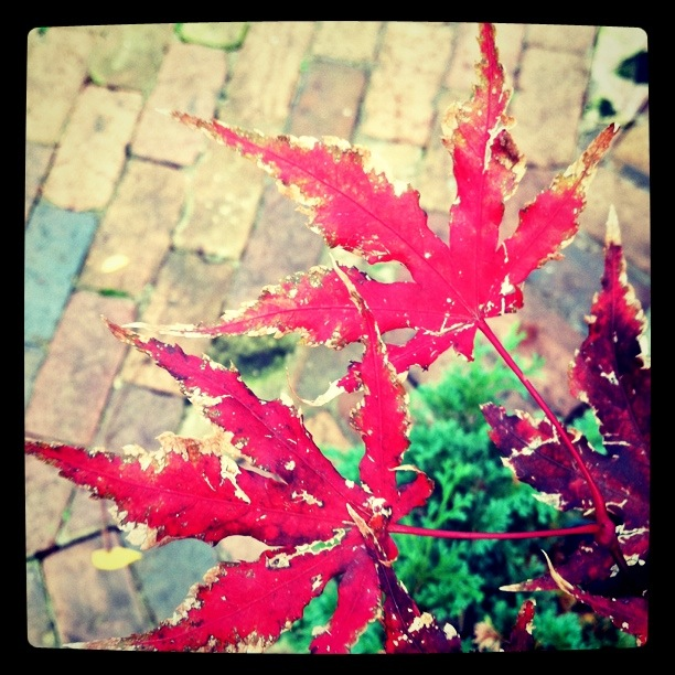Maple by my patio