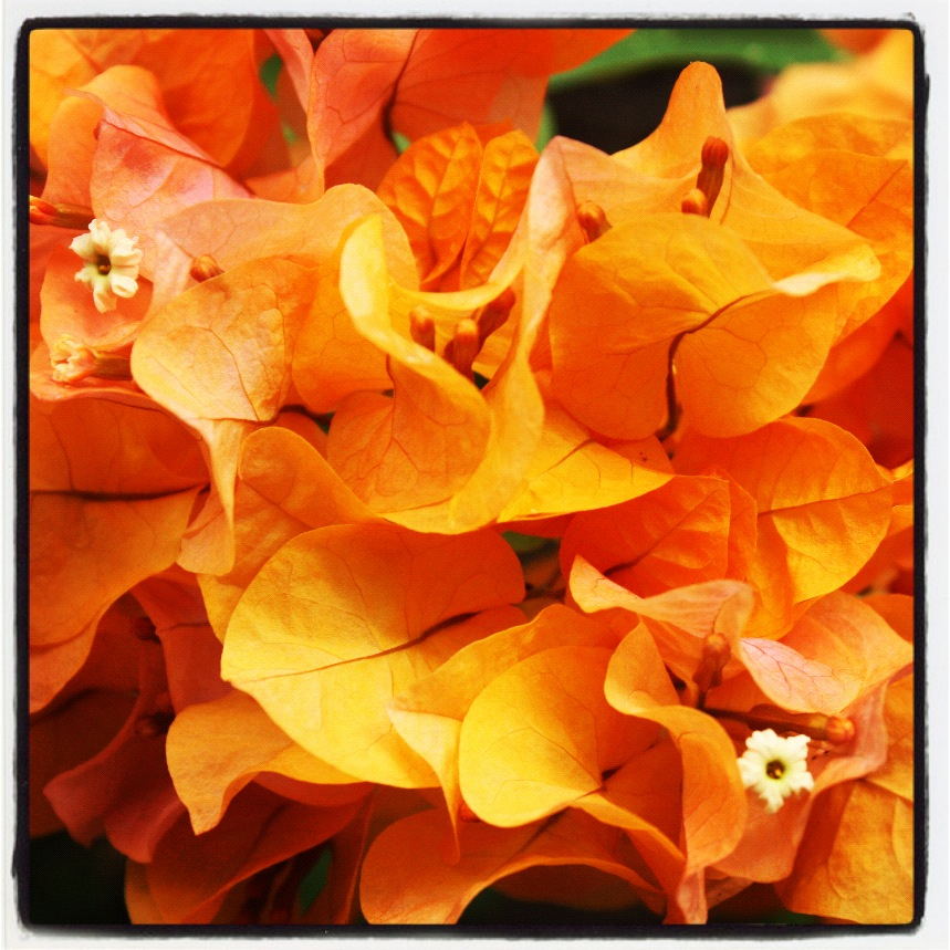 Peachy bougainvillea