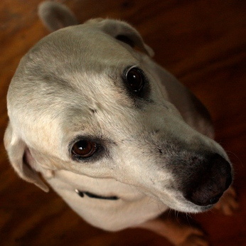 Chico, the Village Dog