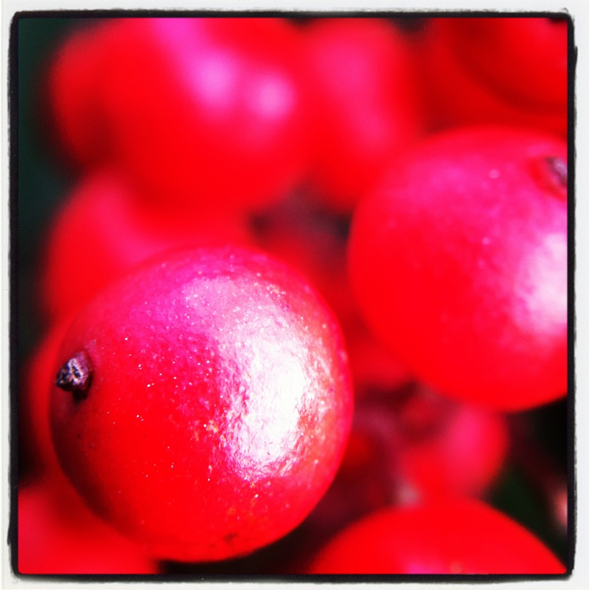 Nandina barries, Easy Macro