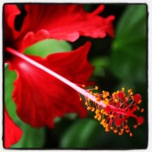 Hibiscus stamen