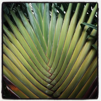 Traveler palm
