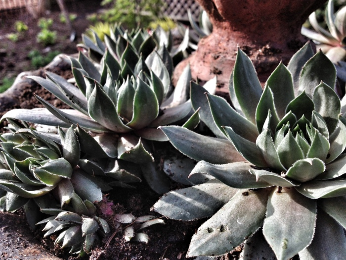 """Dead fountain planted with sedum """"hens and chicks"""""""