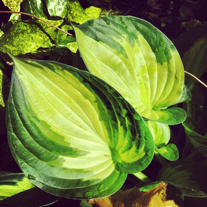 Hostas up close