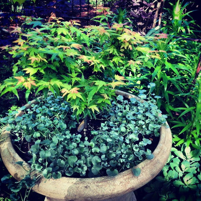 Japanese maple & dichondra