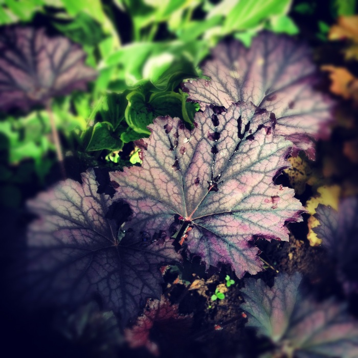 Purple Heuchera